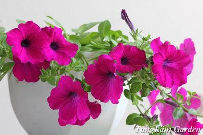 dạ yến thảo, dạ yến thảo rủ, dừa cạn rủ, phong lữ thảo, phong lữ thảo rủ, hoa ban công, hoa treo, hoa Tết