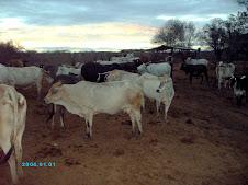 Lote de Vacas de Ordeño