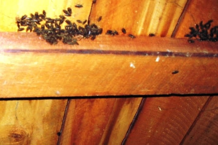 The Pest Advice Last Chance To Stop Cluster Flies