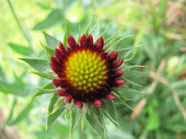 Blanket Flower Starting to Open