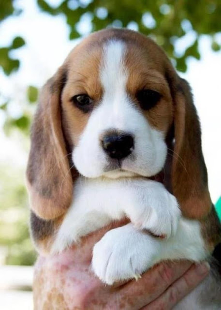 Litter Size of Beagle Dogs