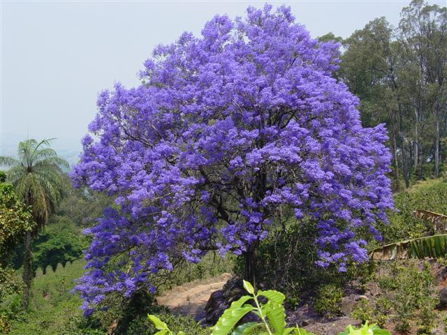 ipe de jardim familia:Jacaranda Tree Seeds