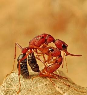 5 Jenis Semut Unik Di Dunia