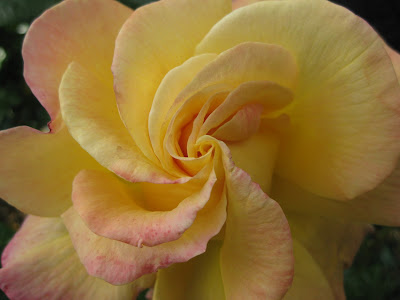 Yellow rose unfurling in a spiral