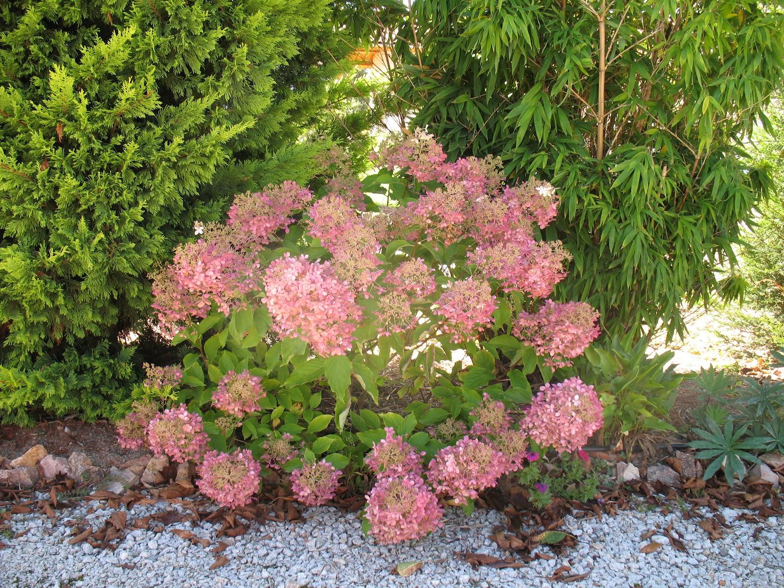 Roses du jardin Chêneland: Le jardin en septembre
