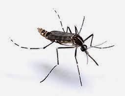Aedes Albopictus juga berbahaya?