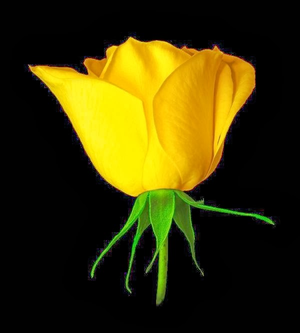 Lovely Yellow Rose Flowers Images Florist Rose Flowers Pics
