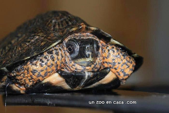 Clemmys insculpta, tortuga de bosque
