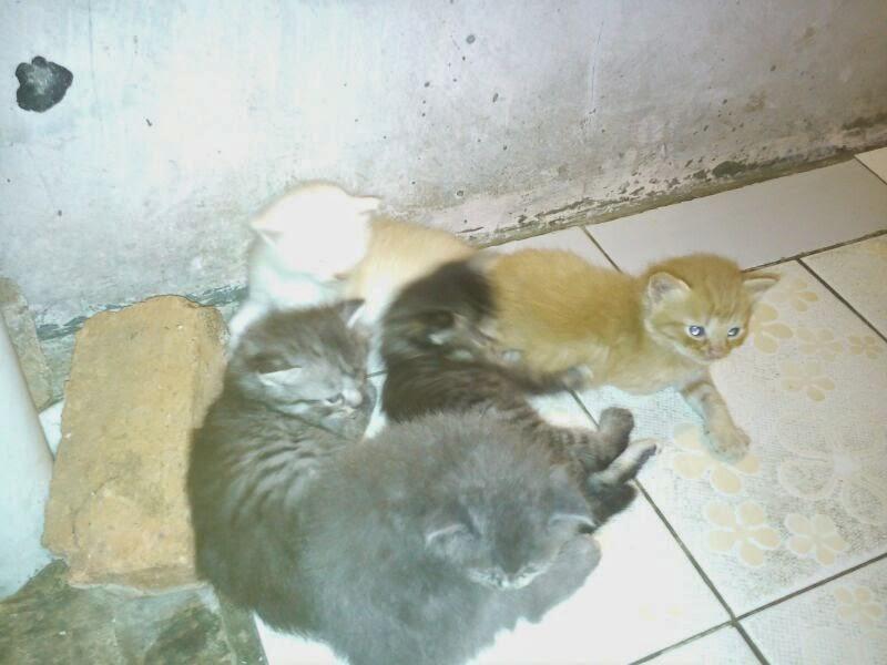 Jual Kitten Persia Cirebon.