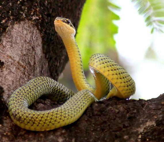 Amazing Colourful Flying Snake - Chrysopelea