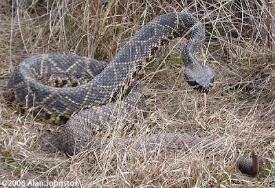 Serpiente de cascabel de diamante del este Crotalus adamanteus