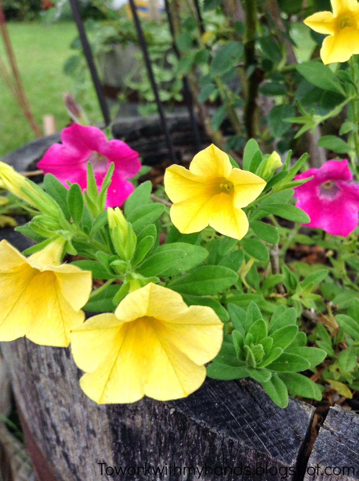 With its trailing, petunia-like tiny flowers, Calibrachoa makes a gorgeous choice for long-lasting blooms all season long.