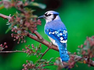 Burung Tercantik dan termahal