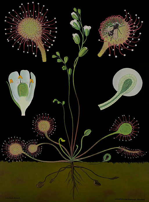 Sundew Illustration, The Art of Instruction