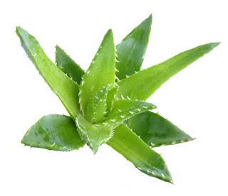 Lidah Buaya sehat dan tanaman