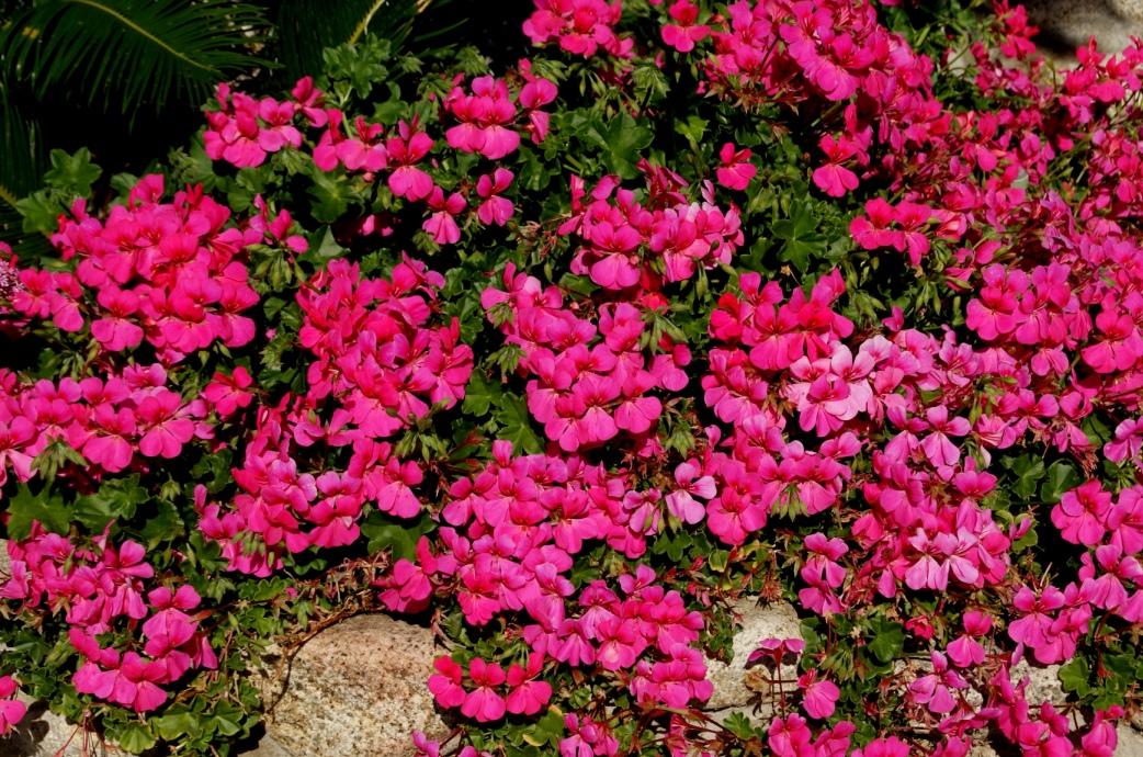 how to keep martha washington geraniums over winter