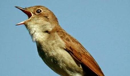 suara-burung-ninghtingale_320124