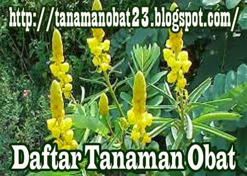Ketepeng Cina (Cassia alata, Linn.)