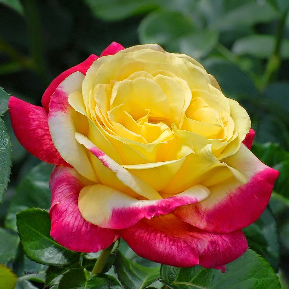 Pink roses symbolism images pink roses symbolism pink yellow roses pink yellow roses source abuse report biocorpaavc