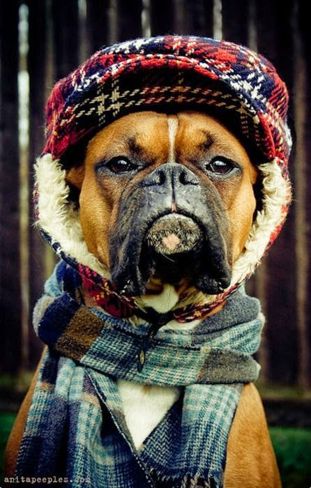 Cute Solemn Boxer ready for Fall