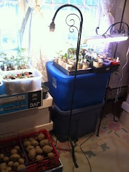 Tomato seedlings and 'chitting' potatoes