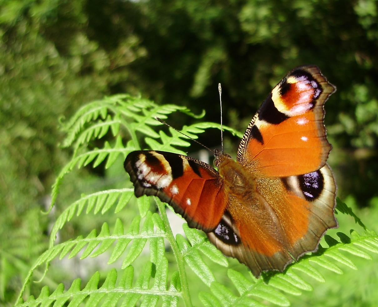 Bolboreta Inachis io