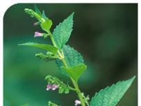 SCUTELLARIA (S. Lateriflora. Casquete de Perro Rabioso)