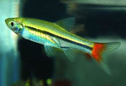 La nouvelle aquariophilie le rasbora queue rouge for Bac a poisson rouge