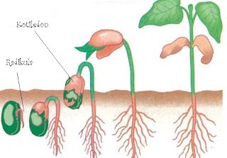 perkecambahan epigeal kacang hijau