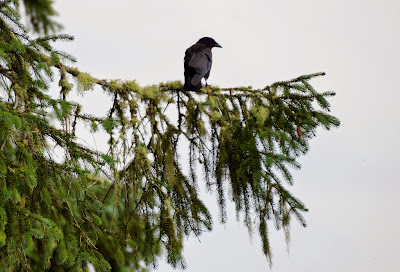 crow in fir