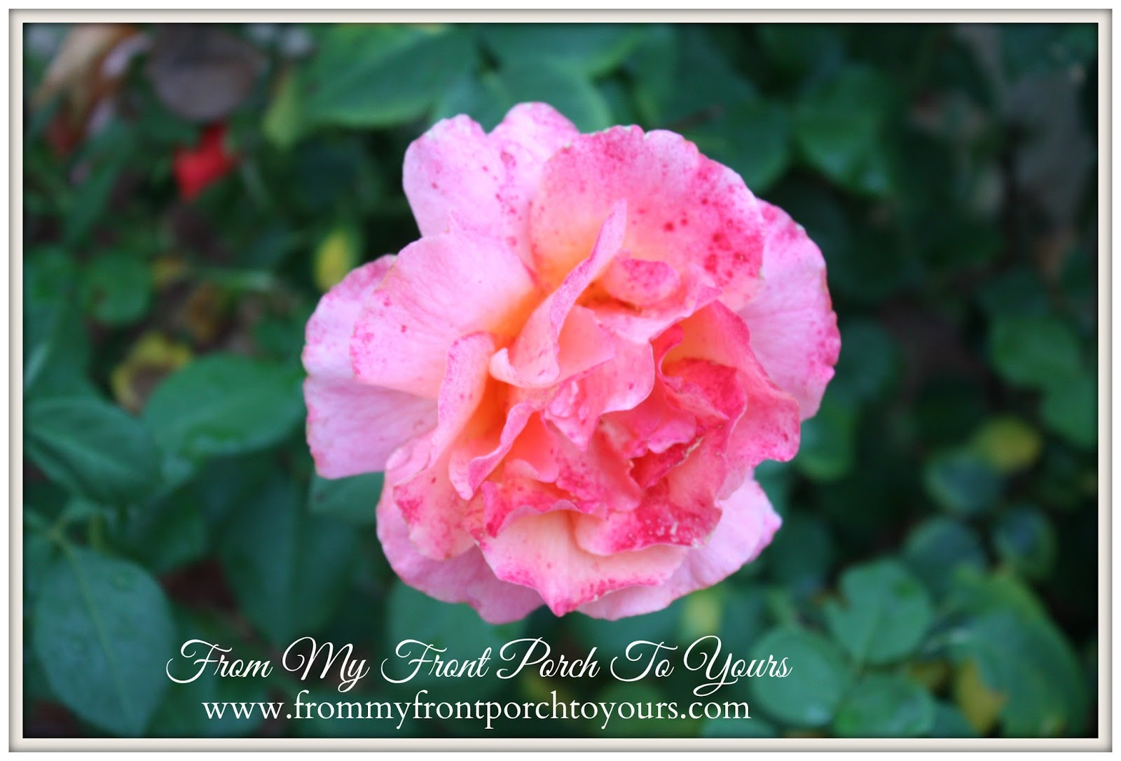 From My Front Porch To Yours- Flower Garden Rose