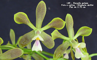 Encyclia patens do blogdabeteorquideas