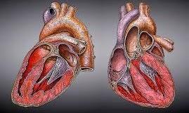 Gejala penyebab dan cara mengatasi mengobati Miokarditis (Radang Otot Jantung)