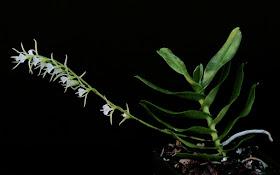 Un Vanda à Madagascar Oeoniella+polystachys+02