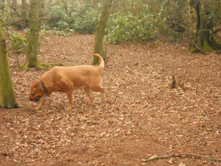 Sheba in the woods