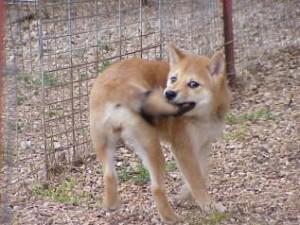 piodermitis-canina