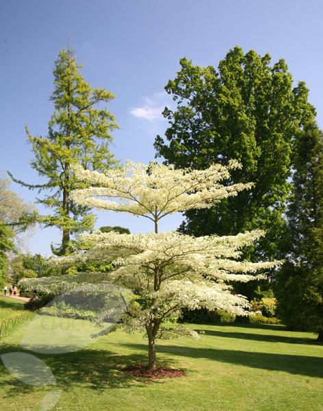 G3 tauranga february 2012 for Specimen trees