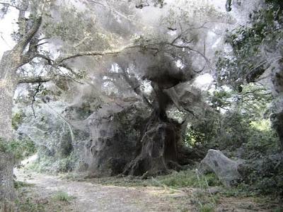 Inundaciones en Australia: las arañas se apoderan de un pueblo.