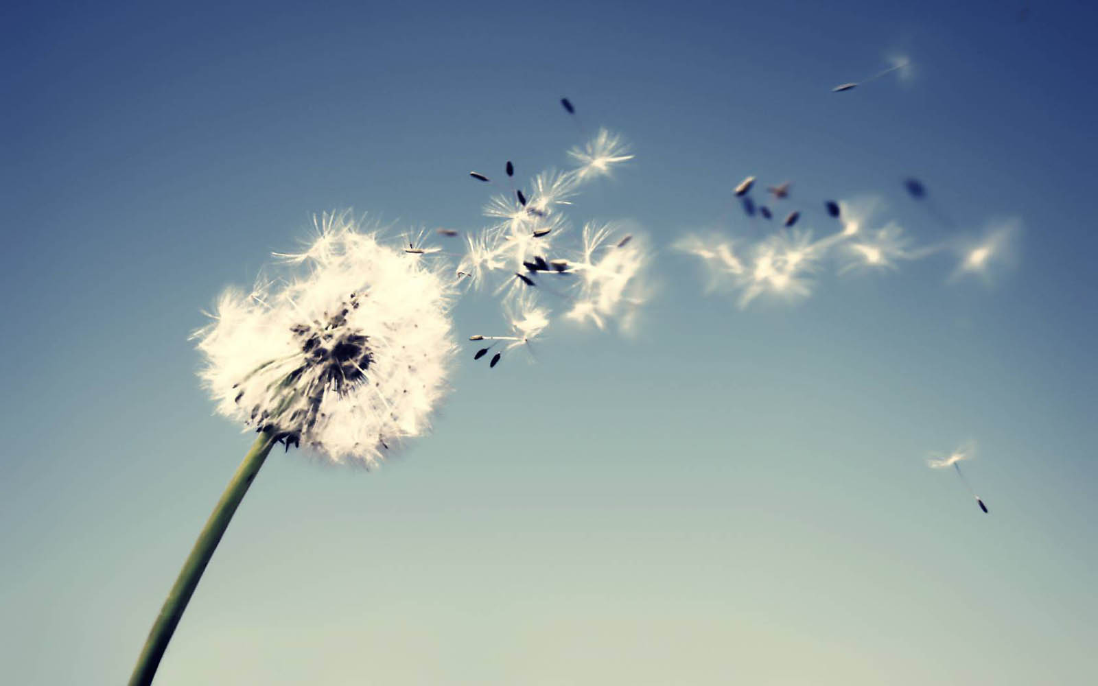 Dandelion Flower Wallpaper