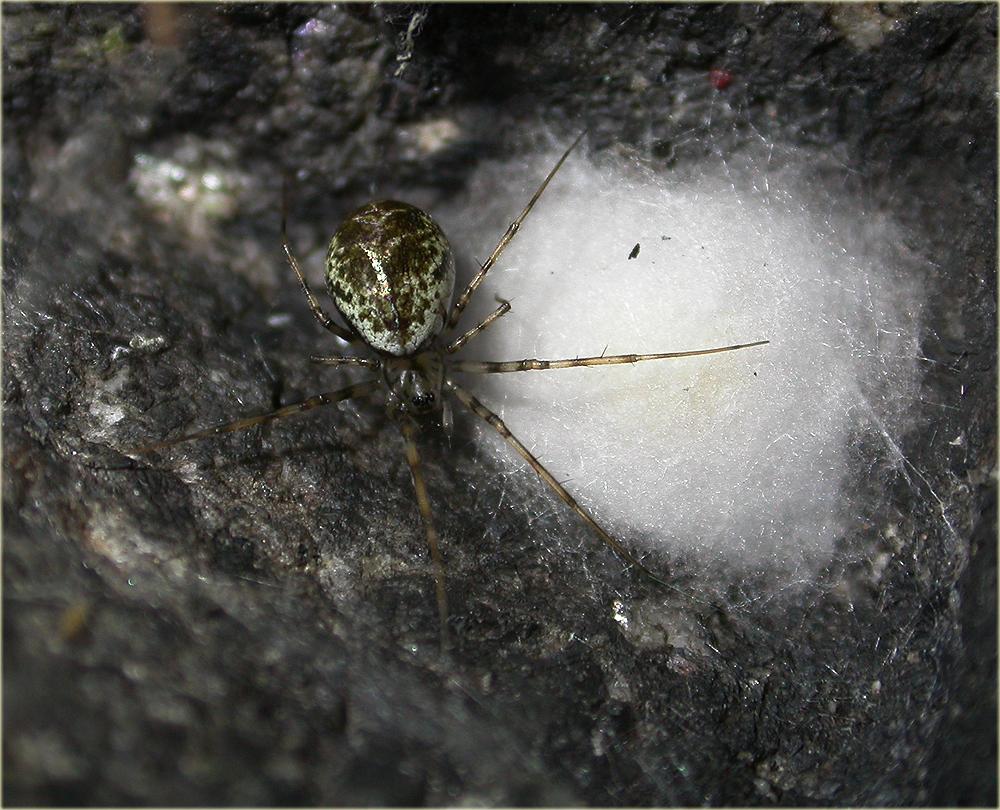 Arachnerds invisible spiders drapetisca socialis for Extra mural cemetery brighton
