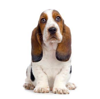 raza basset hound