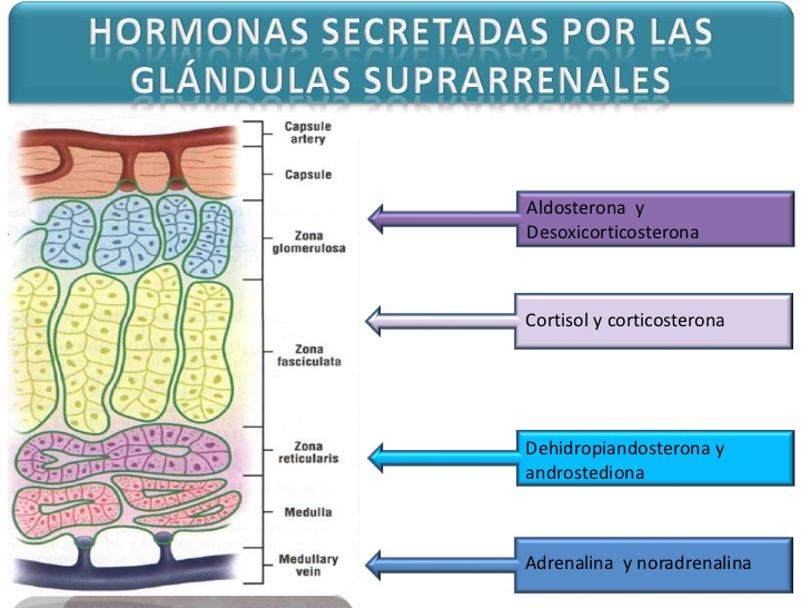 Glandulas Suprarrenales | Glandulas Suprarrenales