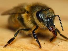 موضوع تعبير جاهز عن النحل وفوائده