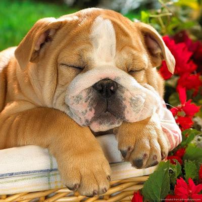 Chó mặt xệ dễ thương