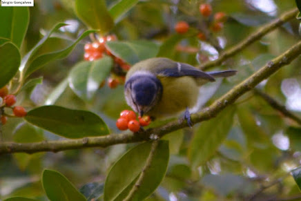 Chapim-azul Cyanistes caeruleus