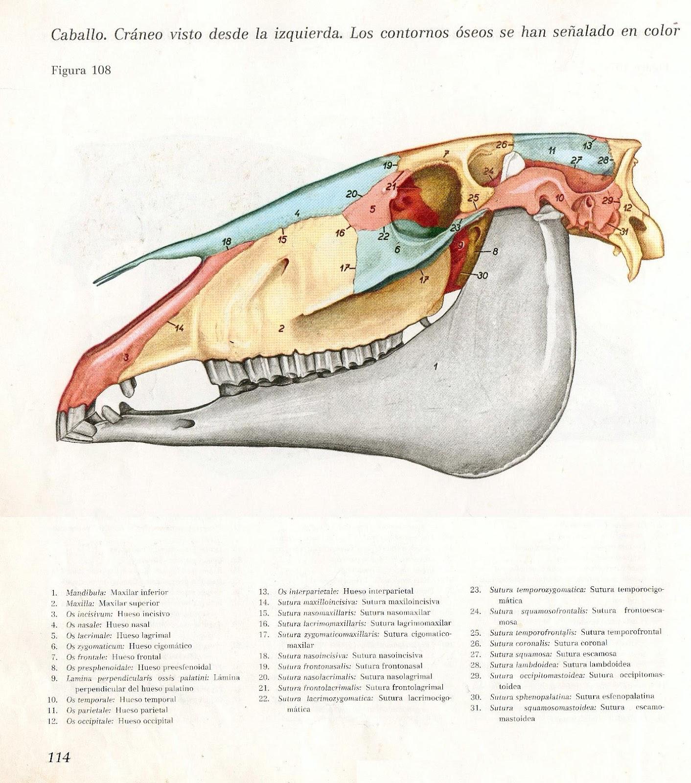 Anatomia Veterinaria: Cráneo de equinos