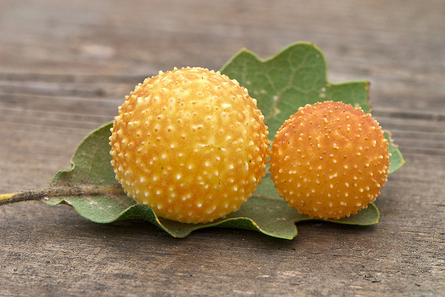 Galls are caused by a variety of parasitic organisms, which can range from ...