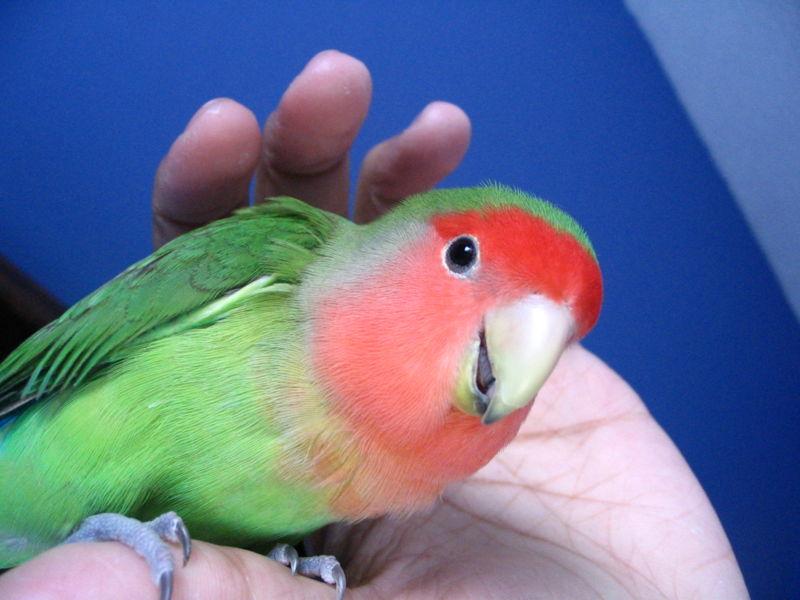 peternak love bird tegal jual induk berbagai macam love bird