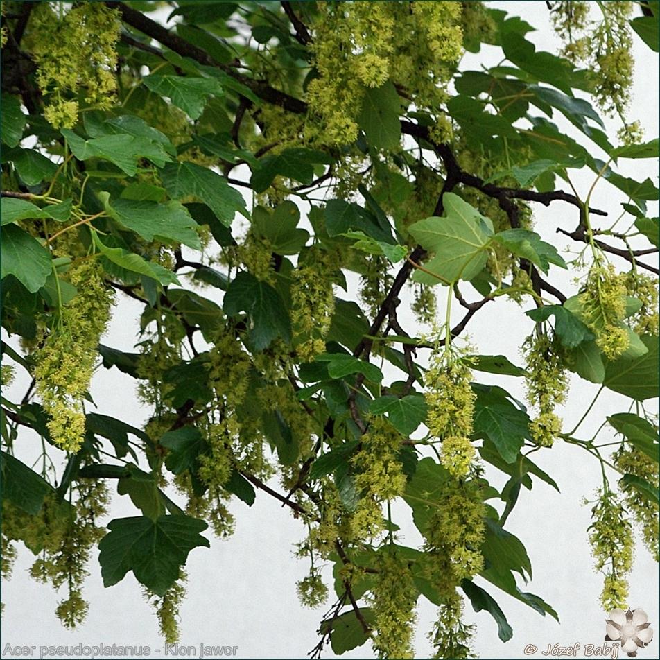 Acer pseudoplatanus flowers - Klon jawor kwiaty