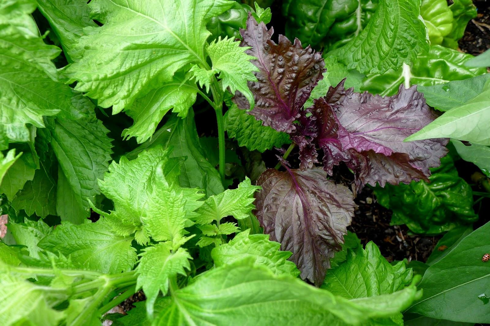 Shiso, Shiso Pesto, gardening, recipes